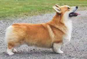 spaniel Prince of Wales sheepdog sealyham welsh pin terrier corgi